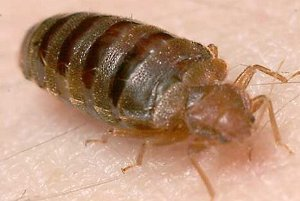 bedbugs can be a workplace problem