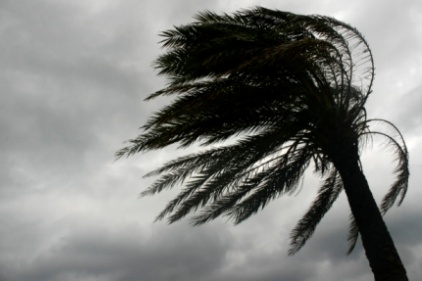 hurricane-palm-tree-422.jpg