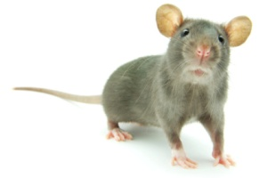 Whistleblower employee fired after complaining about rats